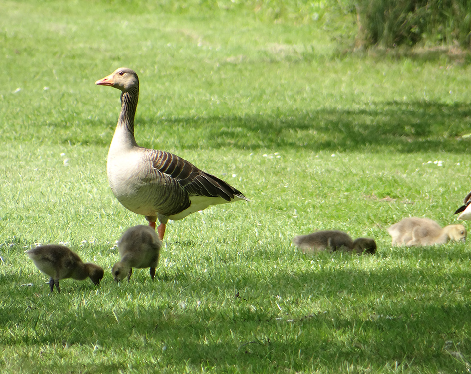 Our Goose Family